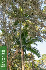 Archontophoenix cunninghamiana 'Illawarra' – Illawarra King Palm, Hardy King Palm