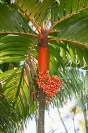 Areca vestiaria – Orange Crownshaft Palm, Fruit Loop Palm