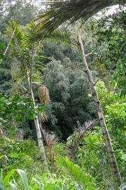 Arenga australasica – Australian Sugar Palm