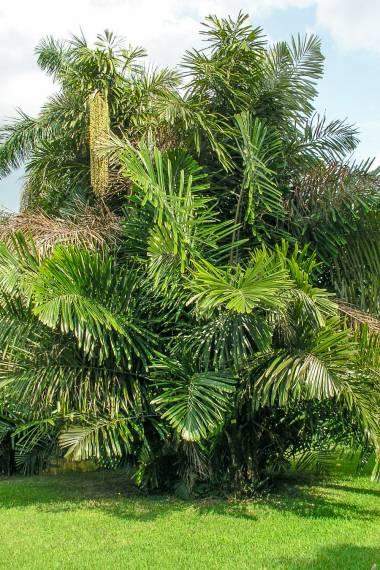 Arenga obtusifolia