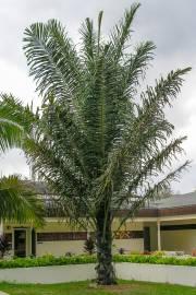 Arenga pinnata – Zuckerpalme