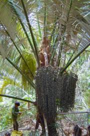 Arenga westerhoutii – Westerhout's Sugar Palm