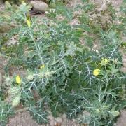 Argemone mexicana – Mexican Prickly Poppy