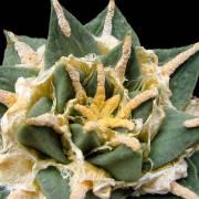 Ariocarpus retusus subsp. pectinatus – Chaute, SOLO UE