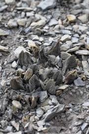 Ariocarpus scaphirostris – Orejas de Conejo, SOLO UE