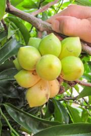 Artabotrys hexapetalus – Manoranjini, Ylang Ylang Vine