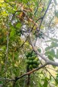 Artabotrys siamensis – Climbing Ylang Ylang