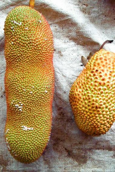 Artocarpus integer – Champedak, Champeden