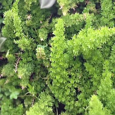 Asparagus densiflorus 'Meyersii' – Meyers Emerald Fern