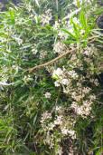 Asparagus falcatus – Esparraguera de bosque