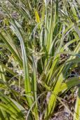 Astelia neocaledonica – Neukaledonische Astelie