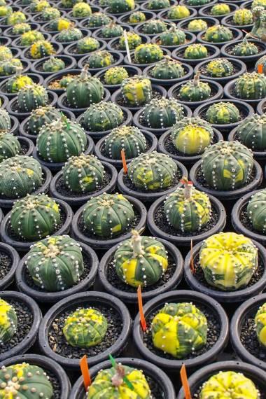 Astrophytum asterias 'Variegata' – Sand Dollar Cactus, EU ONLY