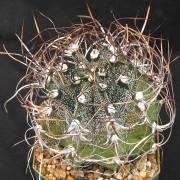 Astrophytum capricorne – Chaute, Biznaga de estropajo