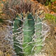Astrophytum niveum 'Nudum' – Bonete de obispo