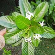 Atractocarpus bracteatus