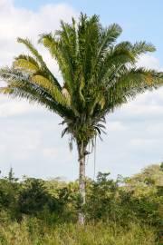 Attalea butyracea – Yagua Palm