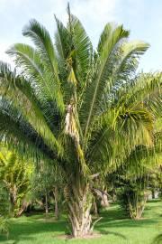 Attalea cohune – Cohune Palm