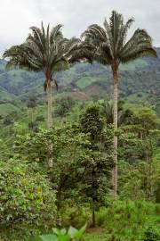 Attalea colenda – Chivila Palm