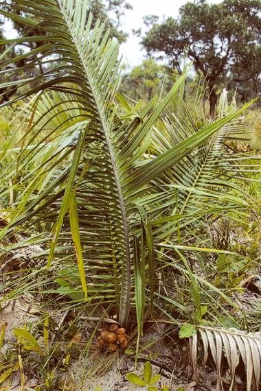Attalea geraensis – Coco indaia