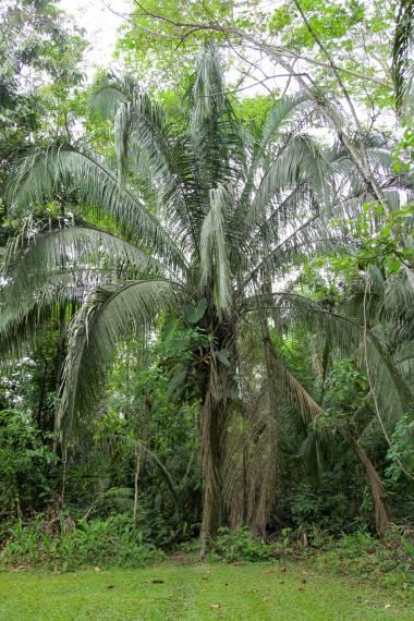 Attalea phalerata – Urucuri Palm