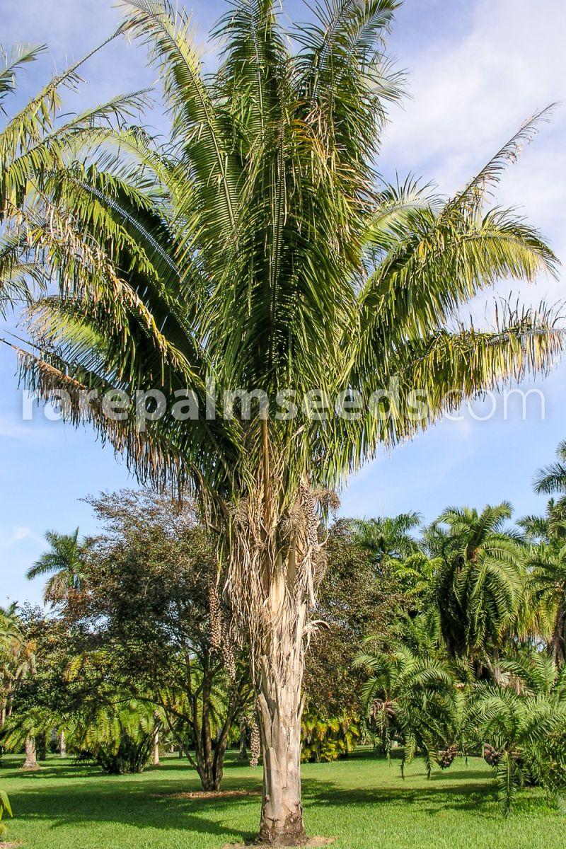 Attalea Speciosa Cusi Palm Buy Seeds At Rarepalmseeds Com De wikipedia, la enciclopedia libre. attalea speciosa cusi palm buy
