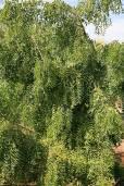 Azadirachta indica – Niembaum