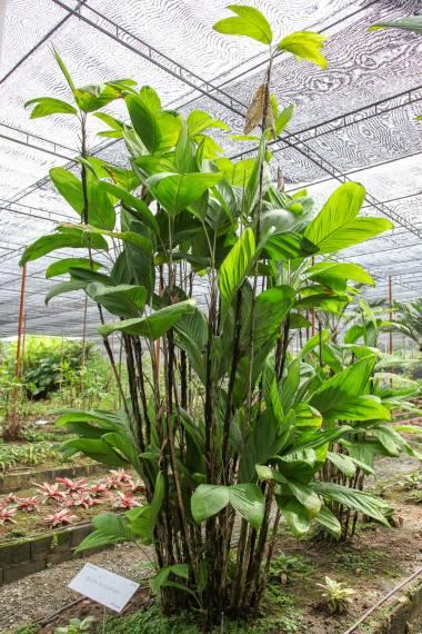 Bactris hondurensis – Tapir Palm