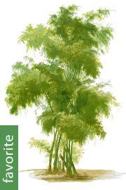 Bambusa bambos – Giant Spiny Bamboo