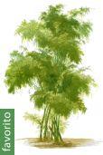Bambusa bambos – Caña brava