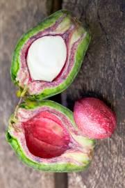 Barringtonia procera 'Purple Nut'