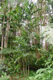 Basselinia eriostachys – Purpur-Basselinia