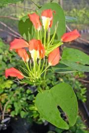 Bauhinia madagascariensis