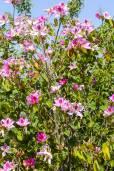 Bauhinia variegata – Pink Orchid Tree