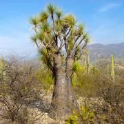 Beaucarnea gracilis – Sotolin Flaschenbaum, NUR EU