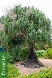 Rain Tree-SAMANEA SAMAN-MAGNIFIQUE BONSAI Monkey Pod Tree 5 Graines