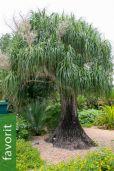 Beaucarnea recurvata – Mexikanischer Flaschenbaum, NUR EU