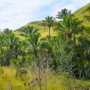 Beccariophoenix alfredii – Hochland-Kokospalme