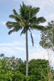 Beccariophoenix fenestralis – Madagascar Coconut Palm
