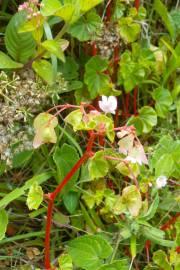 Begonia aequatorialis