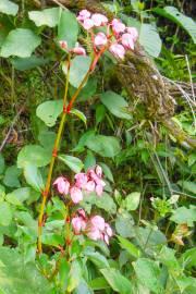 Begonia fischeri