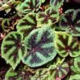 Begonia masoniana – Iron Cross Begonia