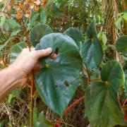 Begonia multinervia