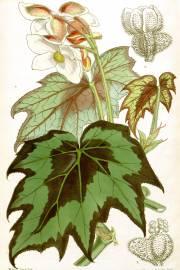 Begonia palmata