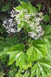 Begonia parviflora – Baumbegonie