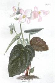 Begonia picta