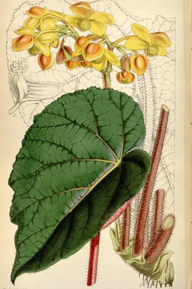 Begonia xanthina