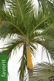 Bentinckia nicobarica – Bentinck-Palme