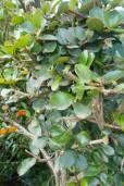 Berberis grandiflora