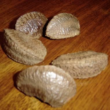 Bertholletia excelsa – Brazil Nut Tree