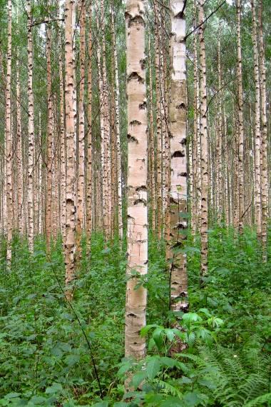 Betula pendula – European White Birch